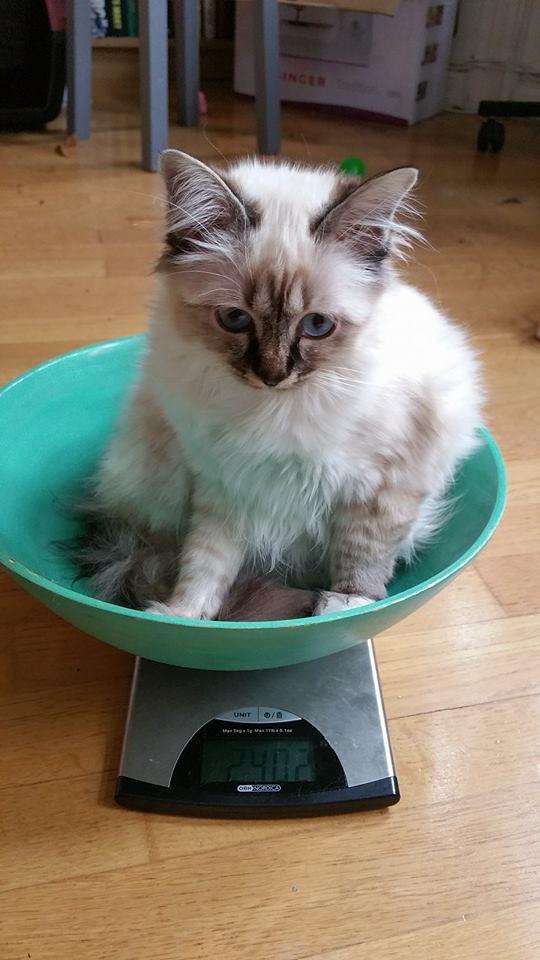 Grå kattunge med blå ögon i en turkos vågskål. Vågen visar 2402 gram.